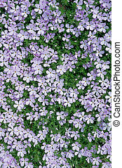 Phlox flowers in bloom form a carpet of vibrant groundcover.