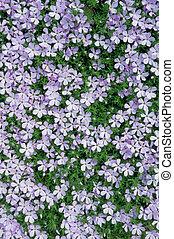 Carpet of Phlox Flowers - Phlox flowers in bloom form a ...