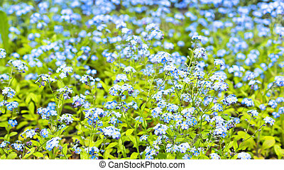 Carpet of small blue flowers