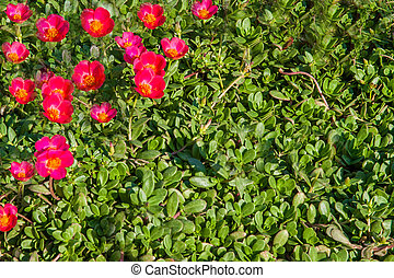 carpet of small pink flowers on the grass at the Egyptian
