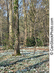 Carpet of Snow drops in forest