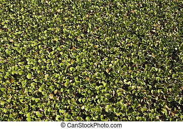 water hyacinth - Carpet of water hyacinth growing at Kirby ...