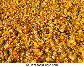 carpet of yellow autumn leaves