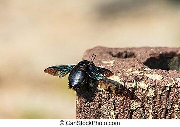 carpintero, abeja