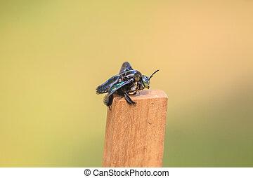 carpintero, Plano de fondo, abeja