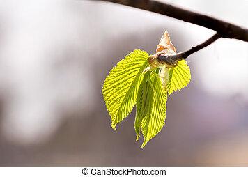 Carpinus Betulus Leaves - European or common hornbeam...