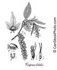 Carpinus betulus or common hornbeam, botanical vintage...