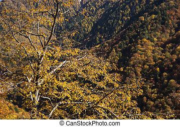 Carpinus tschonoskii tree - Autumn yellow Carpinus...