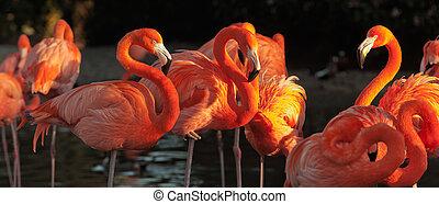Carribean flamingos over beautiful sunset - The American...