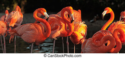 Carribean flamingos over beautiful sunset - The American...