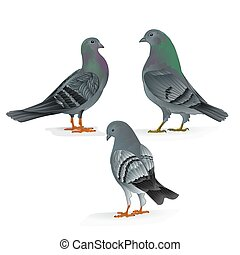 Carriers pigeons domestic breeds sports birds vintage  set Three vector.eps