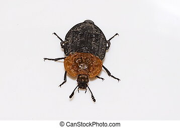 carrion beetle (Oiceoptoma thoracicum)