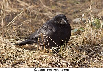 Carrion Crow - A carrion crow on the ground.