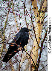 Carrion crow (Corvus corone) perched in a tree