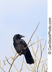 Carrion Crow perched high in the tree