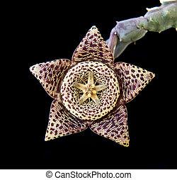 Carrion succulent flower