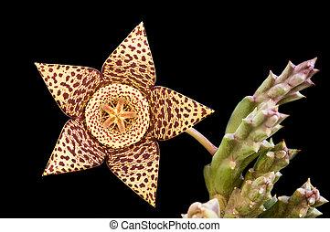 Carrion succulent fresh  flower