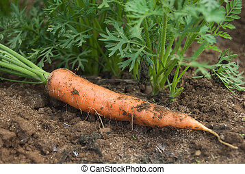 Carrot and plants - Fresh picked carrot lays in a field