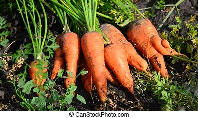 carrot crop Lying on ground in the garden