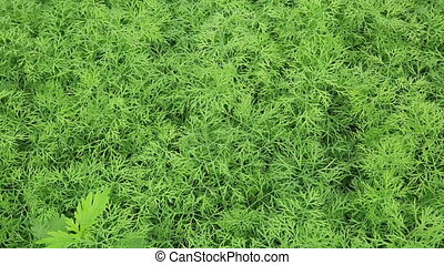 carrot crops in growth