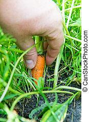 carrot Daucus carota L.