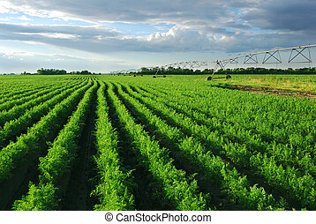 Carrot field with irrigation system at sunset