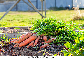 Carrot harvest at a bed in the garden
