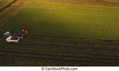 Carrot harvesting at the farmer's field.Aerial view. -...