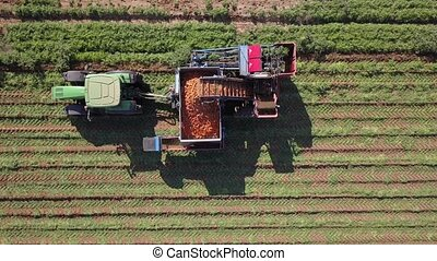 Carrot harvesting using mechanized harvesting equipment. Large carrot field. Agricultural machinery.