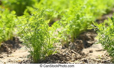 Carrot  in the gard - Carrot top greens fresh in the garden