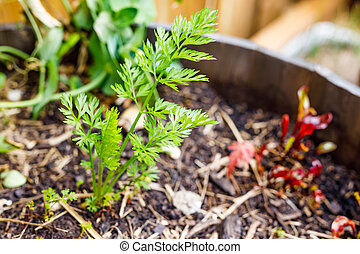 carrot leaves popping up from the ground from veggie pot outdoor in sunny vegetable garden