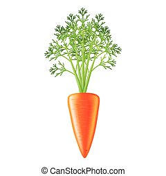 carrot photo-realistic isolated vector - carrot isolated on...