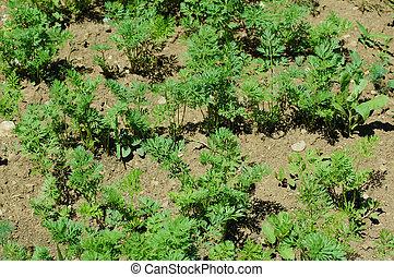 Carrot plants growing