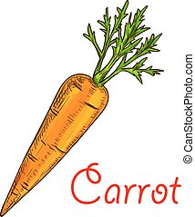 Carrot vegetable isolated sketch for food design