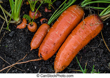 Carrots covered in soil. fresh out of soil.
