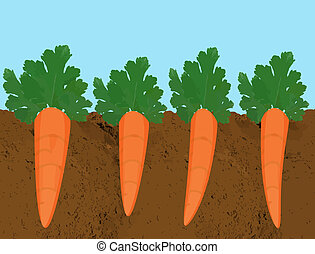 Carrots growing in soil - A cross-section of carrots growing...