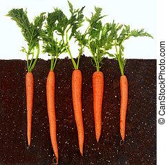 Carrots growing in soil - Organic carrots growing in rich...