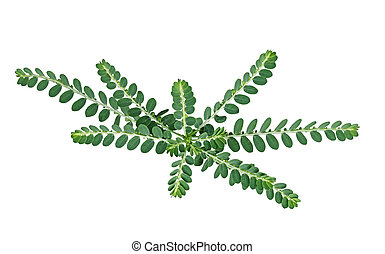 Carry Me Seed - Carry Me See (Phyllanthus Amarus) wildflower...