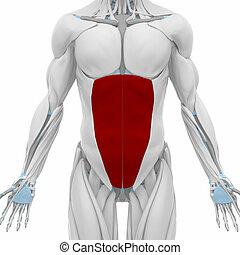 carte, -, muscles, anatomie, externe, abdominal, oblique