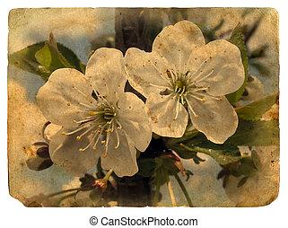 carte postale, cerise, vieux, blossoms., peu