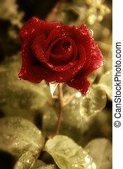 carte postale, vieux, rose rouge