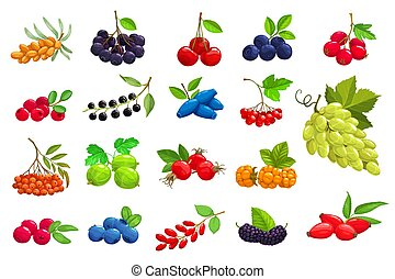 Cartoon berries vector sea buckthorn, black chokeberry and cherry. Blueberry, hawthorn and lingonberry with bird cherry, honeysuckle and viburnum. Grape, rowanberry, gooseberry and rose hip icons set