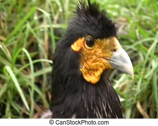 Carunculated caracara (Phalcoboenus carunculatus) - In the...