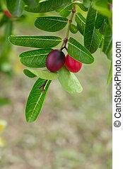 Karonda or Carunda Fruits, Tropical Fruits in Southeast Asia hanging on tree.