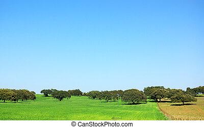 carvalho, árvores, em, trigal, extremadura, region.