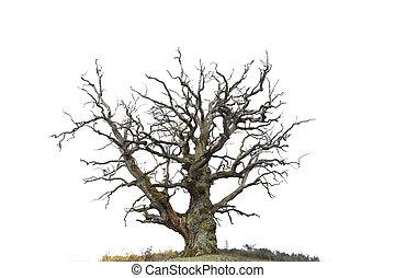 carvalho, branca, árvore, isolado