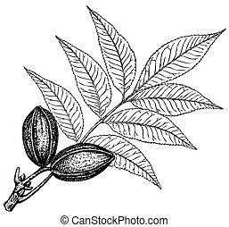 carya, 植物, 胡桃