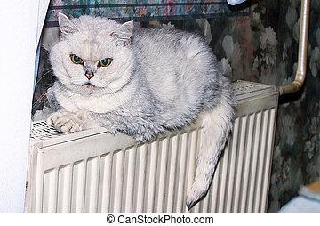 casa, gatto grigio