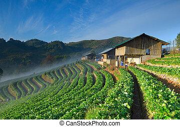 casa, granjero, tailandés, granja, fresa, colina, hermoso