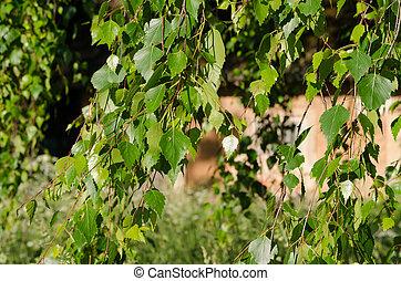 casa, hojas, árbol del abedul, rama, aldea
